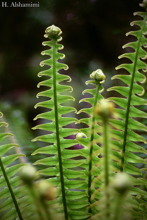 NZ Ferns
