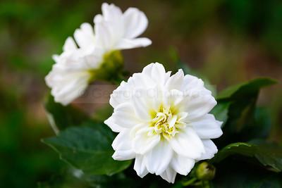 Dwarf White Dahlias
