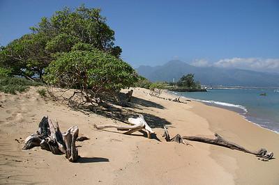 Tree Heliotrope anchored in the sand berm above the high-tide line at Kanaha Beach, near Kahului Airport, north Maui.