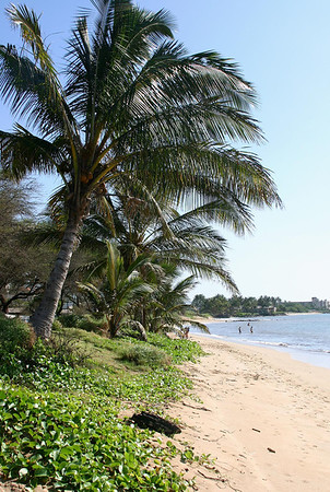 Coconut Palms (Cocos nucifera) and vines of Beach Morning Glory (Ipomoea pes-caprae) growing right down to the surf line. Shoreline of Ma'alaea Bay, Kihei, south Maui.