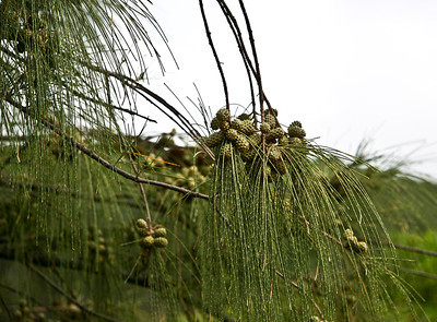 Maturing cone-like fruits and foliage of an Ironwood Tree (Casuarina equisetifolia), Poipu Road, Lawai, south Kaua'i.