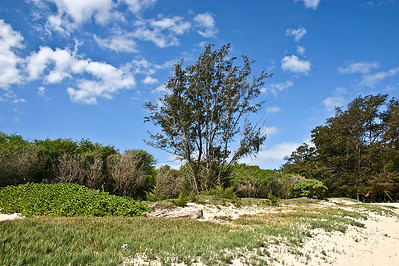 Kanaha Beach, north Maui. This photograph shows all of the species of trees, sprawling bushes, vines, and grass that help stabilize so many of Maui's sandy beaches: the tallest trees are Iron Wood (Casuarina equisetifolia), Kiawe or Mesquite (Prosopis pallida), and Candlenut or Kukui (Aleurites mollucana). The tall bush near the center of the photograph is a Tree Heliotrope (Tournefortia argentea). 'Aki 'Aki Grass (Sporobolus virginicus) carpets the stabilized dunes in the foreground.
