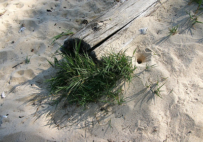 'Aki 'Aki grass (Sporobolus virginicus) or Seashore Rush Grass growing around a sand crab's burrow, Kanaha Beach, north Maui. A spreading hardy grass that thrives on sandy & rocky shores. Indigenous to Hawaii and tropics worldwide.
