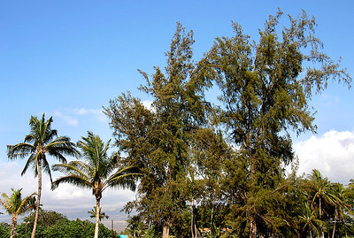 Ironwood Trees (Casuarina equisetifolia) towering over mature Coconut Palms (Cocos nucifera) along a beach front in the Kawalilipoa neighborhood of Kihei, south Maui.