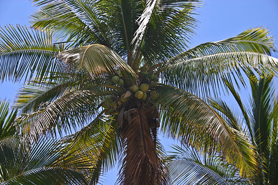 "This and the following sequence of photographs shows the stages of development of the fruit or DRUPE (the coconut fruit is not a true ""nut"") of a Coconut Palm (Cocos nucifera).   This image shows immature coconuts (fruits) that are still green."