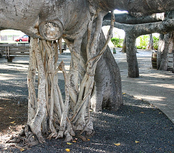 Indian Banyan Tree (Ficus benghalensis); trunk and aerial roots. Old Courthouse Park, Lahaina, west Maui. Although it is an introduced, cultivated species, many individual trees and stands exist throughout the Hawaiian Islands.