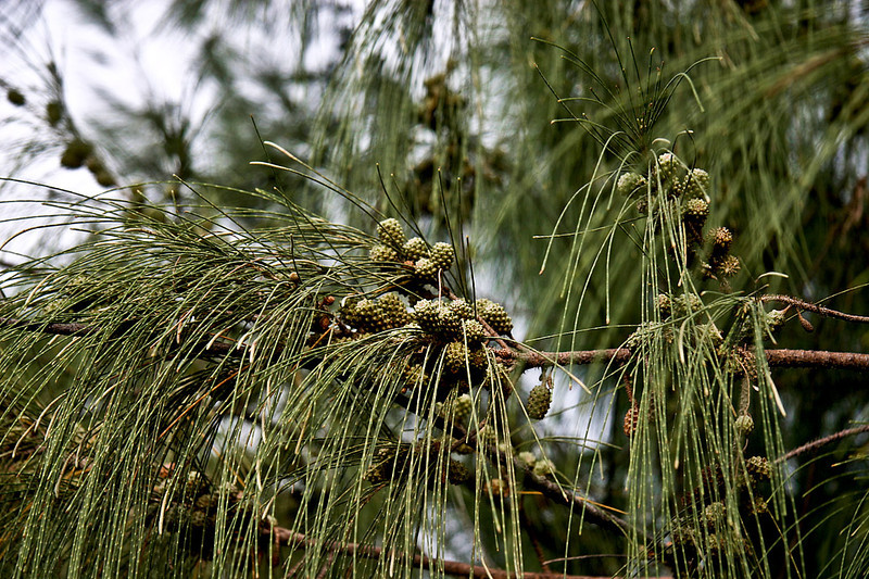 Maturing cone-like fruits of an Ironwood Tree (Casuarina equisetifolia) at the Spouting Horn beach, Poipu, south Kaua'i.