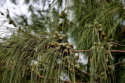 Maturing cone-like fruits of an Ironwood Tree (Casuarina equisetifolia) at the Spouting Horn beach, Poipu, south Kaua'i.