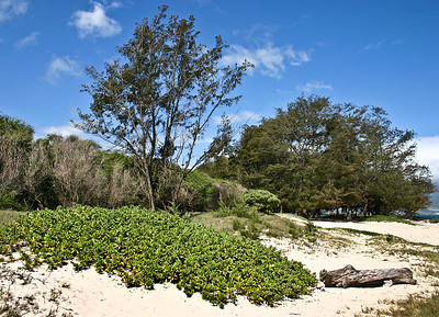 Kanaha Beach, north Maui. This photograph shows all of the species of trees, sprawling bushes, vines, and grass that help stabilize so many of Maui's sandy beaches: the tallest trees are Iron Wood (Casuarina equisetifolia), Kiawe or Mesquite (Prosopis pallida), and Candlenut or Kukui (Aleurites mollucana). The tall bush near the center of the photograph is a Tree Heliotrope (Tournefortia argentea).    'Aki 'Aki Grass (Sporobolus virginicus).