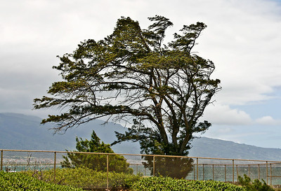 "An elderly Ironwood Tree (Casuarina equisetifolia) leaning into the strong prevailing winds of Kahului Bay, north Maui. This species is well suited to withstand the strong prevailing Trade Winds of the leeward side of the island. However, it is vulnerable to the gusting hurricane-force winds common in the Islands during the summer months and is liable to be uprooted easily.  Casuarina equisetifolia, variously known as Ironwood (Hawaiian: Pa'ina), Coast She-Oak, Whistling Pine, Australian Pine, Horsetail Beefwood, Australian Oak, and Swamp Oak. Despite it's appearance, it is not related to pine trees. Has two flowers: a male flower at the tip of the ""needle"" and a female flower that appears to be a smaller ""needle"" growing at the base of the longer needle. Considered a pest species, as it forms dense stands of trees under which little else can grow."