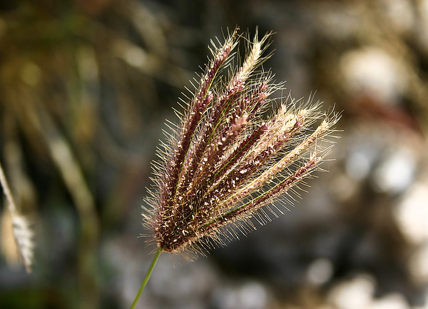 Mature seed head of Swollen Finger Grass (Chloris barbata), Ukumehame, west Maui.