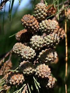 A close-up shot of the maturing cone-like fruits of an Ironwood Tree (Casuarina equisetifolia) at Ho'okipa Beach, north Maui.