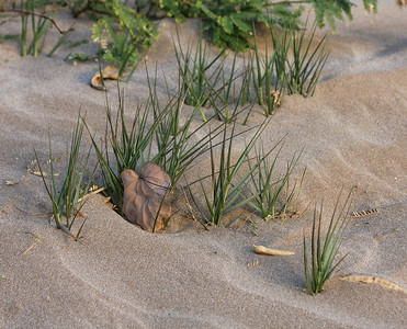 'Aki 'Aki grass (Sporobolus virginicus) or Seashore Rush Grass, Kihei, Maui.