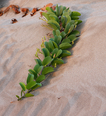 (Ipomaea pes-caprae) Beach Morning Glory vine, Kalepolepo Beach, Kihei, south Maui.