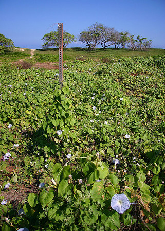 A VERY large mat of Ocean Blue Morning Glory (Ipomoea indica) vines taking advantage of the large expanse of open terrace behind the old berm at Kanaha Beach, Kahului, north Maui.