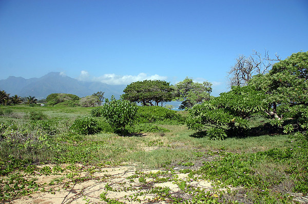 The diverse flora growing on stabilized sand dunes behind the berm at Kanaha Beach, Kahului, north Maui. This unique habitat is being preserved and restored by Maui County and local volunteer groups and individuals. Several endangered and rare native plant species are being reintroduced here. Tree Heliotrope, Beach Naupaka, Ipomoea vines, and various grasses and herbaceous species occupy this protected ecosystem.