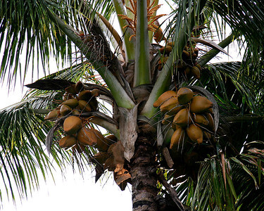 These coconuts are well along in the ripening process, just beginning to turn brown and developing a thick outer husk (or exocarp). If left unharvested, the nuts will harden and dry out, eventually dropping to the ground when completely ripe.   One of the hazards of living with coconut palms is that the large, heavy nuts commonly dislodge from their stems when ripe and fall to the ground with a good deal of force. I've never been konked by one of these but have come close on several occasions.