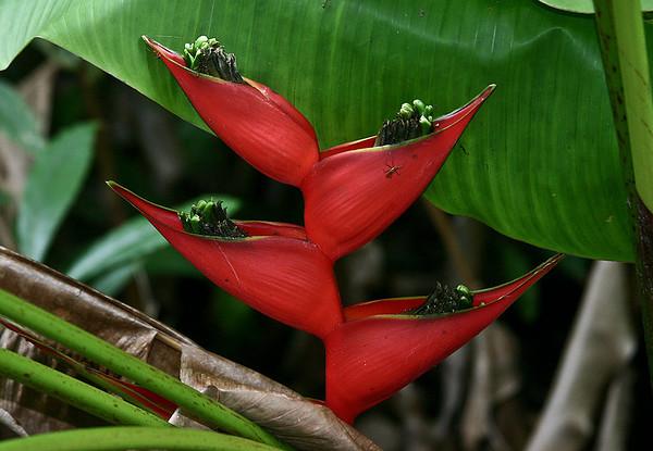 Heliconia bihai, Hana Maui Botanical Garden, east Maui.