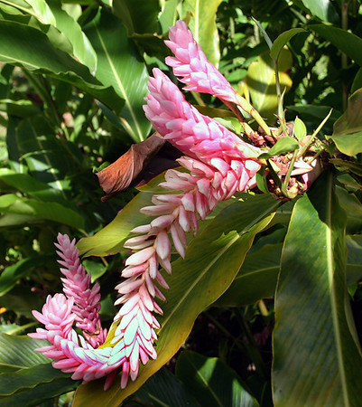 Pink variety of Red Ginger (Alpinia purpurata). Flower head is about 20 cm long. Hana Maui Botanical Gardens, east Maui.