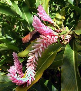 Pink variety of Red Ginger (Alpinia purpurata). Flower head is about 20 cm long. Hana Maui Botanical Gardens, east Maui.