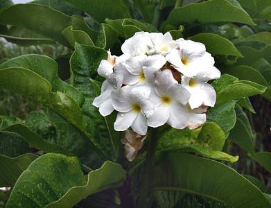 (Plumeria alba), Hana Maui Botanical Garden, east Maui.