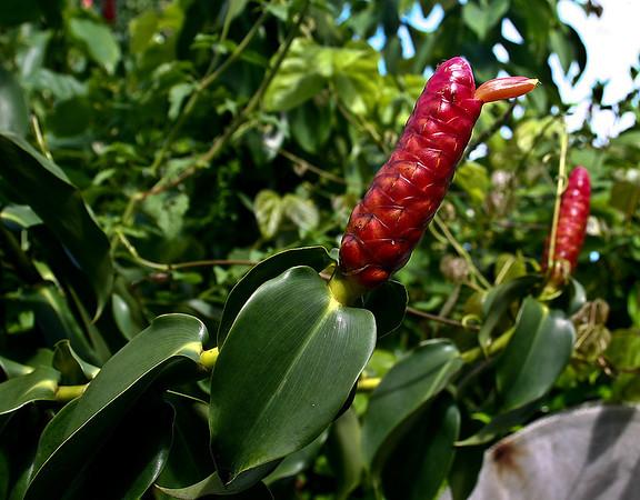 Scarlet Spiral Flag Ginger (Costus woodsonii), Hana Maui Botanical Gardens, east Maui.