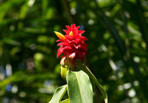"Flower head of the Indonesian Wax Ginger (Tapeinochilos ananassae), National Botanical Garden, Lawai, Kaua'i. The bright red ""petals"" are actually bracts, modified or specialized leaves associated with a reproductive structure such as a flower, inflorescence axis, or cone scale. Bracts are often (but not always) different from foliage leaves, for example being smaller, larger, or of a different color or texture. The true flowers are small yellow blossoms like those in this shot."