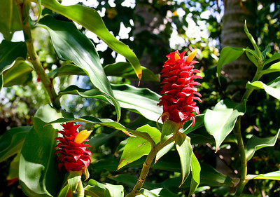 "Flower heads and foliage of the Indonesian Wax Ginger (Tapeinochilos ananassae), National Botanical Garden, Lawai, Kaua'i. The bright red ""petals"" are actually bracts, modified or specialized leaves associated with a reproductive structure such as a flower, inflorescence axis, or cone scale. Bracts are often (but not always) different from foliage leaves, for example being smaller, larger, or of a different color or texture. The true flowers are small yellow blossoms like those in this shot."