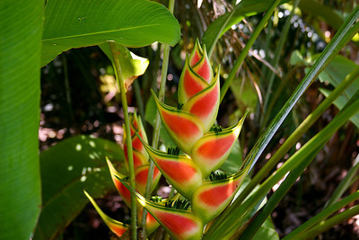 The Common Lobster Claw Heliconia (Heliconia bihai), National Botanical Garden, Lawai, south Kaua'i.