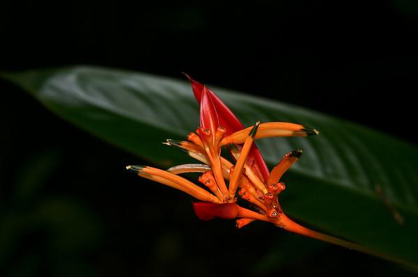 Parrot's Beak Heliconia (Heliconia psitticorum), Hana Maui Botanical Garden, east Maui.
