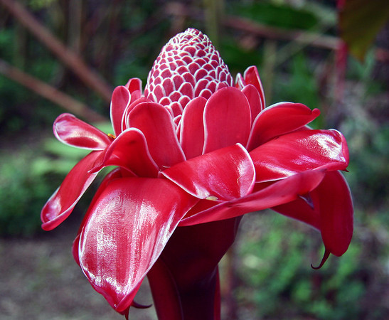 Torch Ginger (Etlingera elatior), whose leaves are often more than 6 meters tall. More mature plants produce deep-red flower heads like this one in the Hana Maui Botanical Gardens, east Maui.
