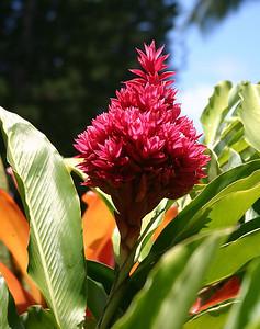 """Jungle King"" cultivar of Red Ginger, Kaumahina State Wayside Park, Hana Highway."