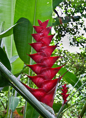 The blossom of this Red Caribaea Heliconia (Heliconia caribaea) has eight pairs of bracts and is more than 70 cm long. Hana Maui Botanical Garden, east Maui. The huge cup-like bracts (petals) of the Red Caribaea heliconia often collect large quantities of water, plant debris, and insects after one of the numerous tropical downpours in this part of the island.