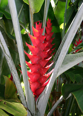 Red Caribaea Heliconia, the largest of the Heliconiaceae. Hana Maui Botanical Gardens, east Maui.