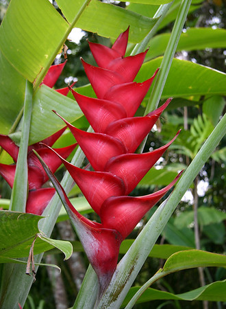 Heliconia caribaea; blossom of six pairs of bracts is about 40 cm long. Hana Maui Botanical Gardens.