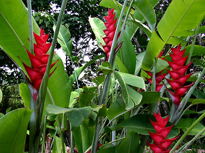 Red Caribaea (Heliconia caribaea) originated in the rain forests of Jamaica and Puerto Rico. It is one of the largest heliconias in the world. Hawaii's major export supply of Red Caribaea is grown in the Nahiku-Hana region. Hana Maui Botanical Gardens.