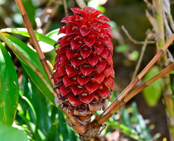 A very mature flower head of the Indonesian Wax Ginger (Tapeinochilos ananassae), National Botanical Garden, Lawai, Kaua'i. Flower head is about eight inches (25 cm) long. This genus is well adapted to the moisture and shade of the windward side of the island.