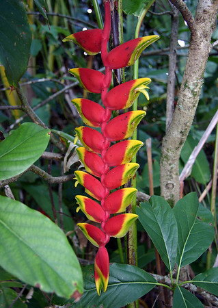 A Hanging Lobster Claw Heliconia (Heliconia rostrata) with eight pairs of bracts and a flower head more than 50 cm long! Hana Maui Botanical Gardens.