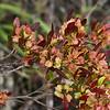 """A Hop Bush (Dodonaea viscosa). This individual was found growing on an old lava flow located just off the Pi'ilani Highway (#31, near Mileage Marker 26) in the Kahikinui District, south Maui. <br /> <br /> As its Hawaiian name implies, A' 'ali'i Kumakani was a """"royal plant that stands up against the wind."""" It was considered holy to the the hula goddesses Laka and Kapo; it's oddly shaped fruit is still woven into lei for traditional hula dancers. It is the only native Hawaiian plant with a tap root long enough to anchor itself deep in the exposed basalt flow rocks of the leeward shores of Maui and the neighbor islands."""