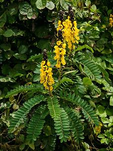Candle Bush (Senna alata) flowers and foliage. Growing in the main stream course of Pulehu Gulch, near Kula Highway, south Maui.