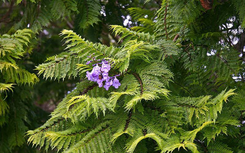 Newly mature blossoms among the lush foliage of a mature Jacaranda tree (Jacaranda mimosifolia). Pi'ilani Highway near Ulupalakua Ranch, south Maui.