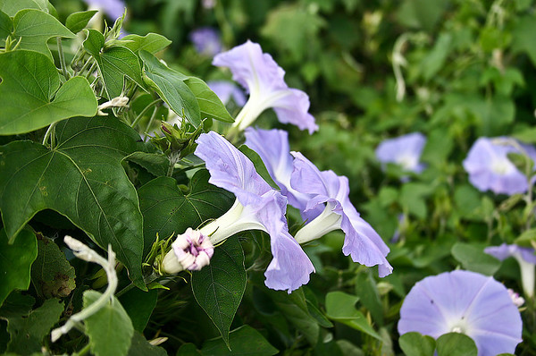 A nice side-view close-up of the flowers of the Blue Morning Glory (Ipomoea indica). Found near Kula, south Maui.