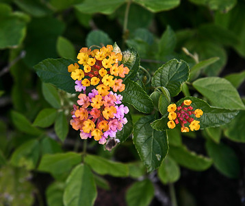 Lantana (Lantana camara), near intersection of Kula Road and Pi'ilani Highway, Ulupalakua Ranch, south Maui.