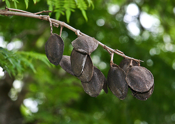 By the first week of Summer, the dark-brown ripened seedpods of the Jacaranda (Jacaranda mimosifolia) appear in small clusters like this one in the upper branches of the tree. Near Ulupalakua Ranch, southern Maui.