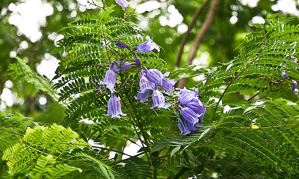 Immature Jacaranda (Jacaranda mimosifolia) blossoms, near Ulupalakua Ranch, south Maui. This photo was taken in late June and the Jacarandas are still in bloom. Note the double compound leaves, which cause some observers to assume that Jacarandas are related to acacias.