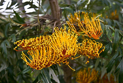 A close-up of the flowers of a Silk Oak (Grevillea robusta), found near the intersection of the Old Haleakala Highway and Pulehu Gulch, south Maui.
