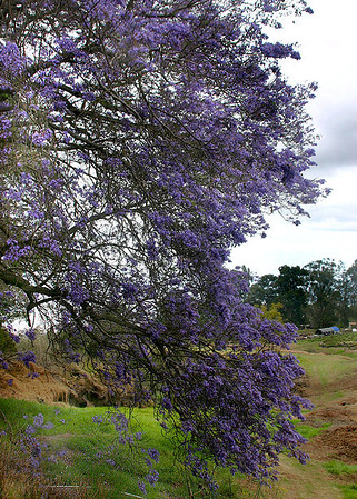 A Jacaranda Tree (Jacaranda mimosifolia) in full blossom in early Spring. One of the more obvious and popular harbingers of Spring on Maui, the Jacaranda is common in gardens and along roadsides at 2,000 to 4,000 feet on the northwestward-facing slopes of Haleakala volcano. Kula, south Maui.