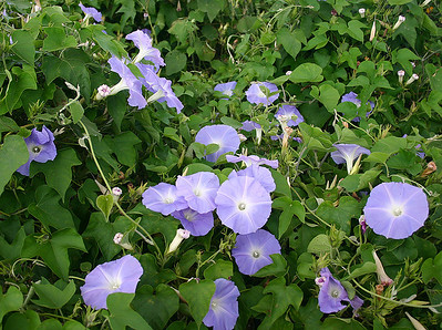 The vines and tendrils of the Blue Morning Glory (Ipomoea indica) busily covering every surface and object within creeping distance. Seen near Kula, south Maui.