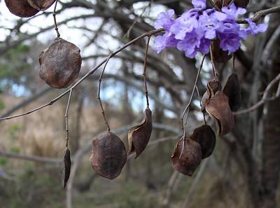 Seed pods and blossoms of Jacaranda (Jacaranda mimosifolia) hang from trees lining the Kula Road, near Ulupalakua Ranch, north Maui.