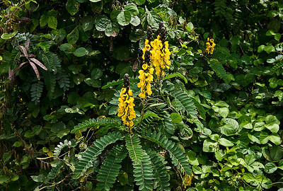 Candle Bush (Senna alata) flowers and foliage. Growing in the main stream course of Pulehu Gulch, near Kula Highway, south Maui.